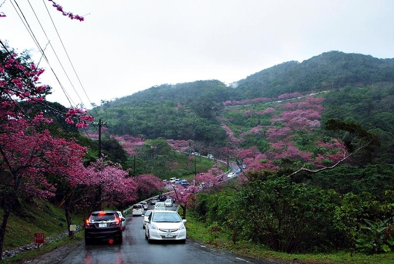 八重岳寒緋桜