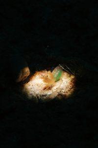スベスベオトヒメエビ属