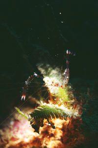 オトヒメエビ