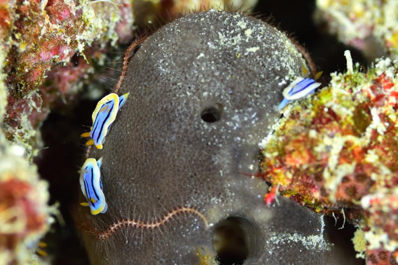 コールマンウミウシ