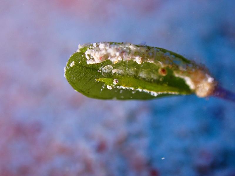 ヒラツノモエビ